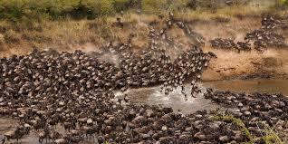 One of the wonders of the world, wild beast crossing the Mara river fro Serengeti to Masai Mara