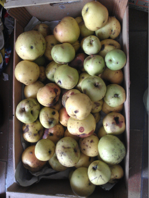 A surplus of Apples from My Garden Ready to be prepared for Juicing