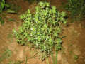 The Summer Savory Plant - A Herb for Flavour, Aroma and Health