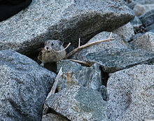 American pika with mouthful of dried grass. Sequoia National Park, CA