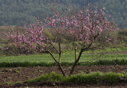 A peach tree is both attractive and functional!