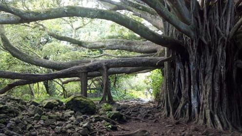 Peepal-tree In Hawai