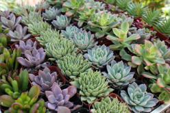 Free Succulent Plants
