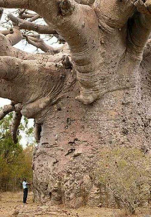 A 6000 year old Boab tree in Africa