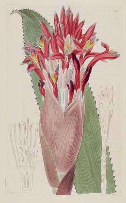 Taken from the Botanical Register. Sydenham Edwards {1768-1819}.