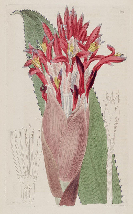 Taken from the Botanical Register. Sydenham Edwards {1768-1819}.