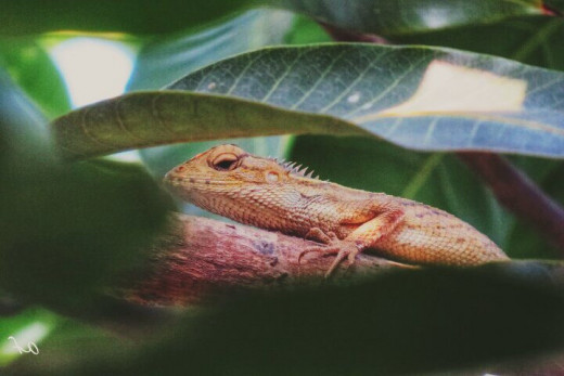 A chameleon is hiding among leaves in our mango tree.