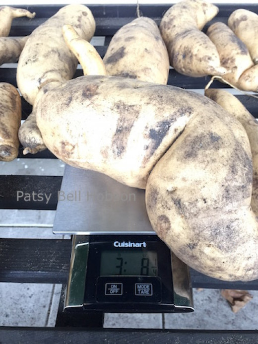 """How to grow big sweet potatoes First look for large harvest varieties. This potato ia a white fleshed """"O'Henry""""."""