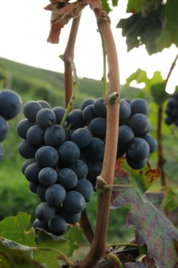 A grape of red Roero
