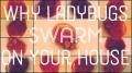 Why Ladybugs Swarm on Your House