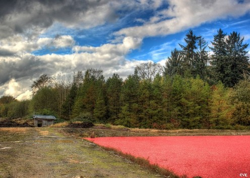 Cranberry bog on a farm like that of my grandfather.