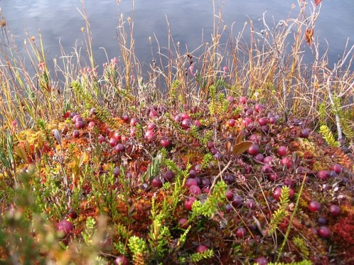 Cranberries in a bog.