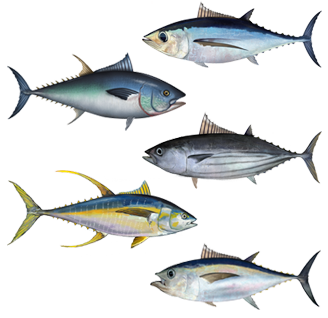 Here is an assortment of tuna fish. On the left you will find the Bluefin and Yellowfin, with the Albacore, Skipjack and Bigeyed tunas visible on the right.