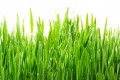 Exquisite Wheatgrass Health Benefits