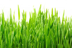 Wheatgrass Health Benefits Guide