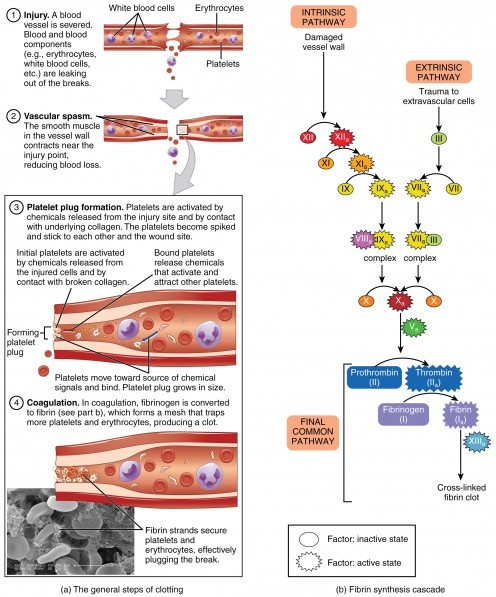 A summary of the blood clotting process