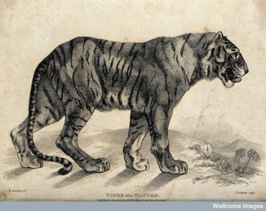 Engraving of a Tiger by Landseer