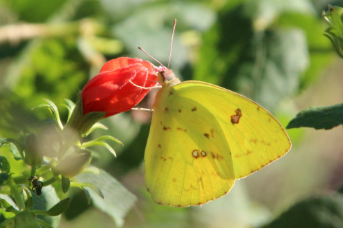 Cloudless Giant Sulphur also of the Pierids family