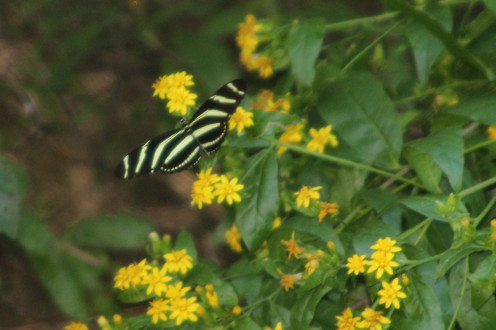 Zebra Butterfly, a long wing of the Heliconiidae family