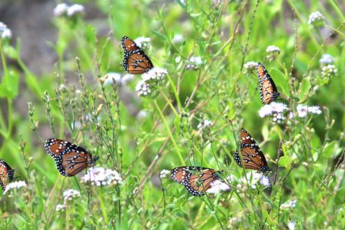 Circle of Monarchs at Falcon Lake
