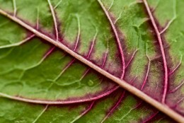 The beauty of a red spinach leaf, by Stewart
