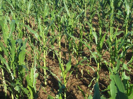 Armyworm damage on corn crop