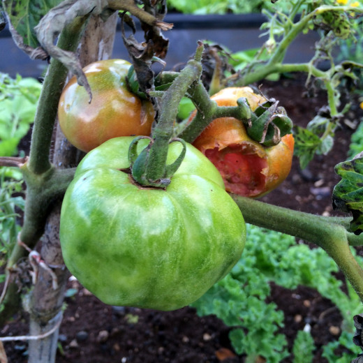 Lumpy tomatoes possible a result of mild boron deficiency.
