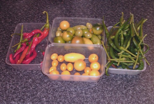 End of growing season tomatoes and chillies