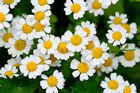 Chamomile is very easy to grow and has long lasting daisy-type flowers that add beauty to the garden