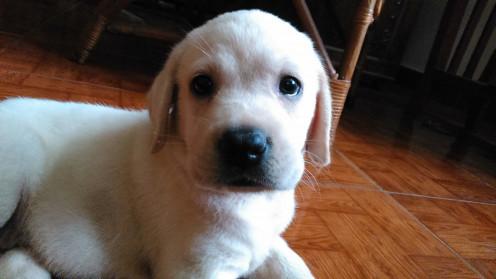 My pet labrador as a puppy