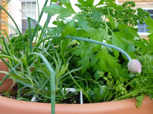 Parsley, tarragon, chervil and chives are easy to grow spring herbs.