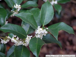 I have a fragrant flowering holly bush I do not know the name of; can you help?