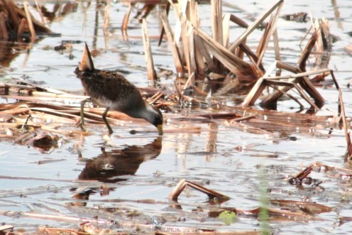 Sora Rail in the Canes