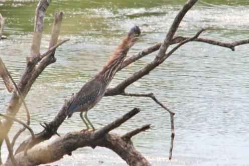 Green Heron having a good stretch.