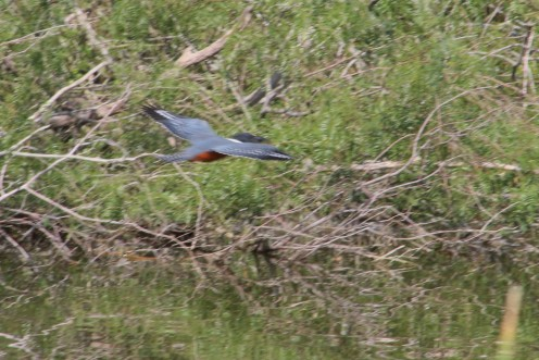 A Ringed Kingfisher appears