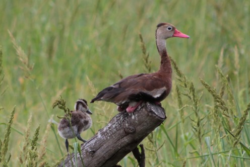 Black-bellied Whistling Ducks greet you at Estero Llano