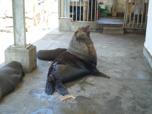 This old Seal sits here waiting for lunch from the local fishermen in Kalk Bay.