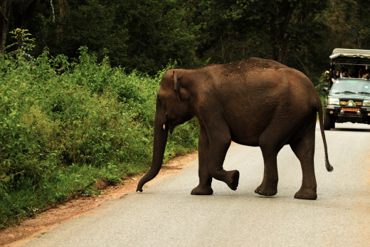 Asian Elephant crossing the State highway.