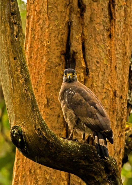 Serpent Eagle