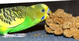 Budgies love Millet Seed, too much is bad for them