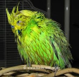 Budgie loves a bath in the hot weather