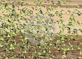 Budgies flock in the wild quite a sight