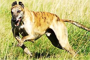 Bengal Hound OR Sarail Hound