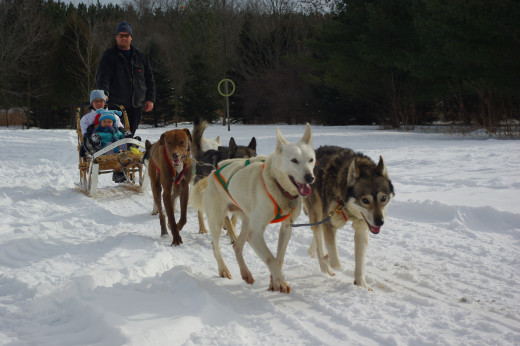 Exploring Algonquin Provincial Park by dog sleds is possible and an enjoyable experience.