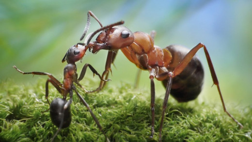 Army ants Communicating-a Worker and a Soldier