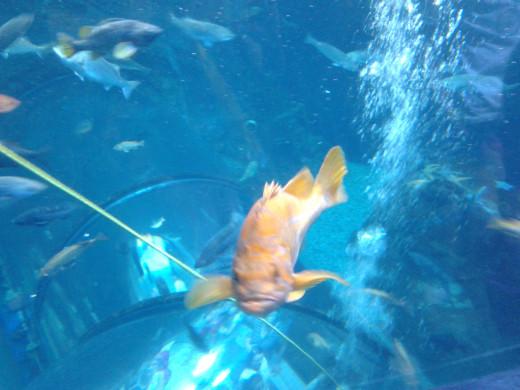 View of a fish swimming in the giant aquarium at the Quebec Aquarium