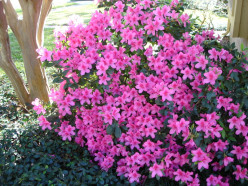 Why do some azaleas bloom twice or more in a season and others don't?