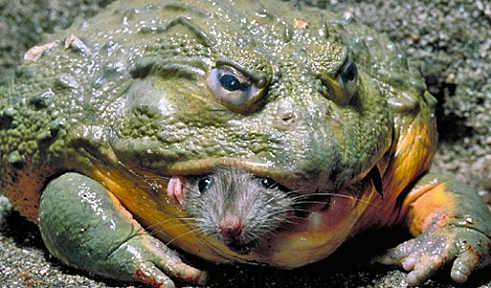 GOTCHA!!... Giant Frog just captured a meal