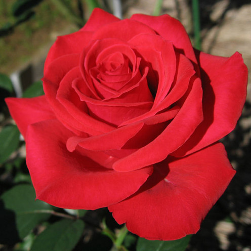 Red Chateau Rose, Jingu Rose Garden, Japan taken by Teranishi