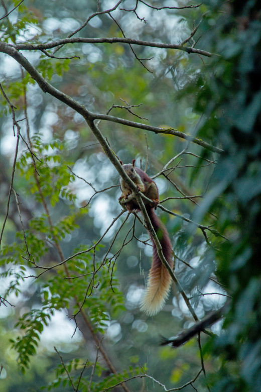 Malabar Giant Squirrel - one of the largest arboreal squirrel species in world.